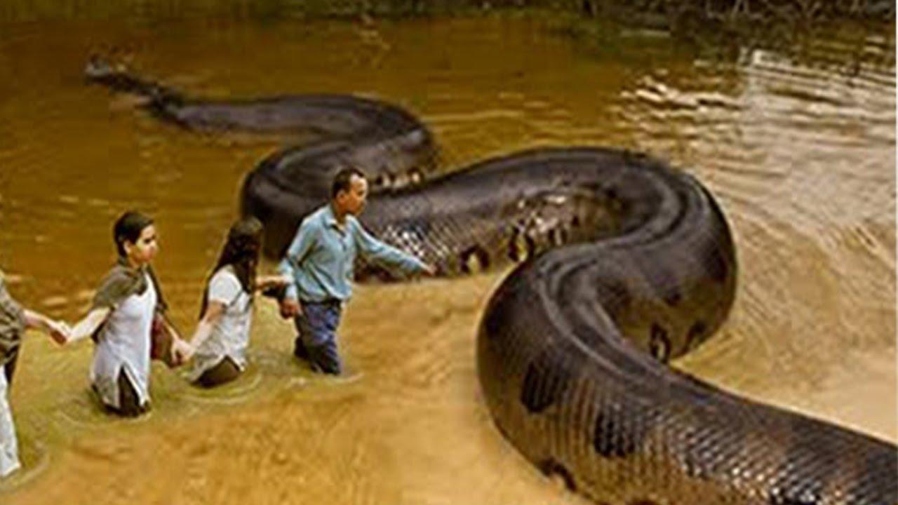 بالصور اكبر ثعبان فى العالم , اكبر انواع الثعابين فى العالم 2393 7