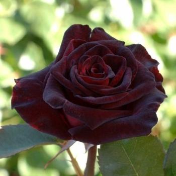 بالصور صور ورود روعه , اشكال تحفه من اجمل الزهور 2498 10