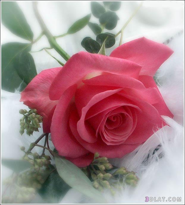 بالصور صور ورود روعه , اشكال تحفه من اجمل الزهور 2498 4