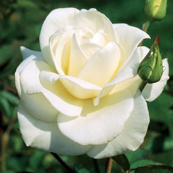 بالصور صور ورود روعه , اشكال تحفه من اجمل الزهور 2498 5