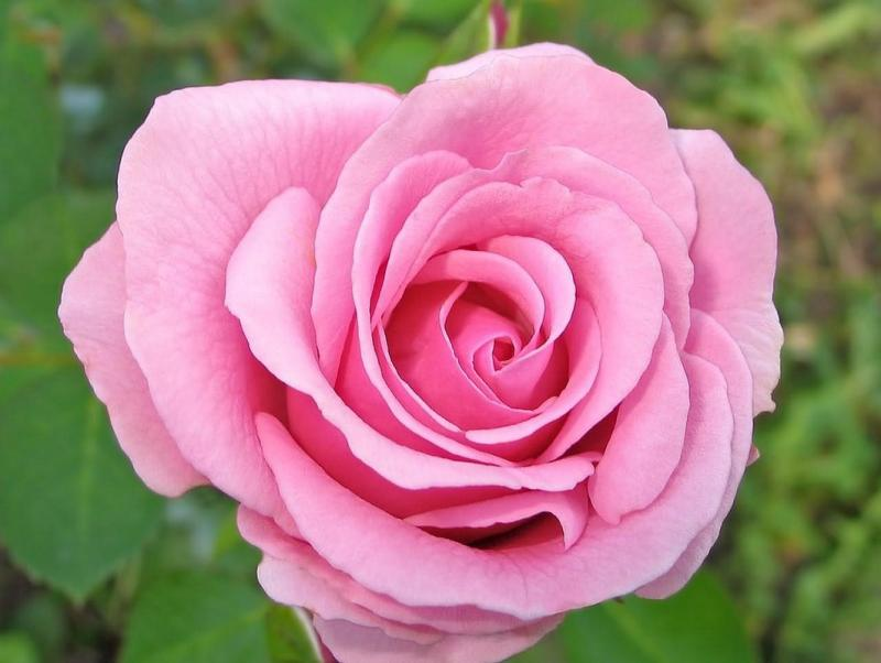 بالصور صور عن الورد , اروع صور الورود و اجملها 2980 6