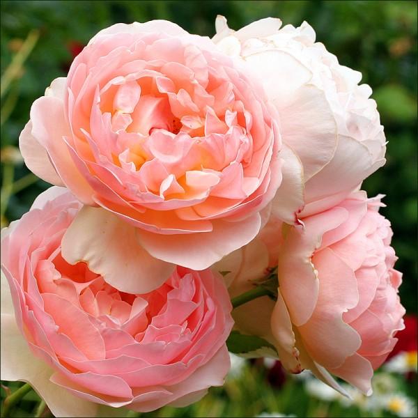 بالصور صور عن الورد , اروع صور الورود و اجملها 2980 7