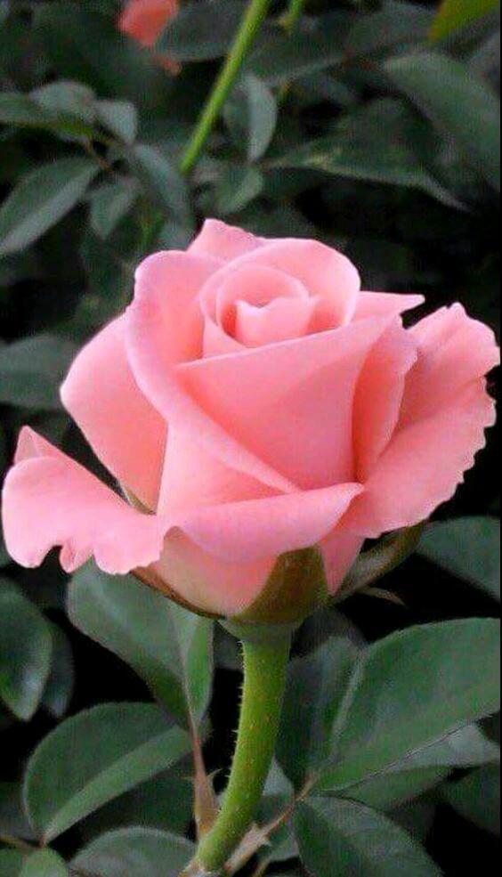 بالصور صور عن الورد , اروع صور الورود و اجملها 2980 8
