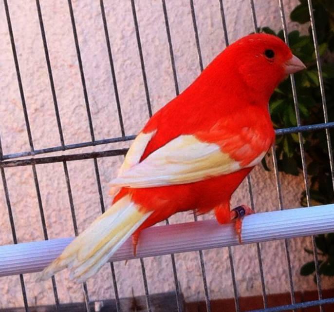 نتيجة بحث الصور عن صور عصافير الكنارى