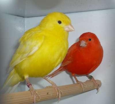 بالصور اجمل كناري في العالم , اروع طيور الكناري و ابهاها 3027 2