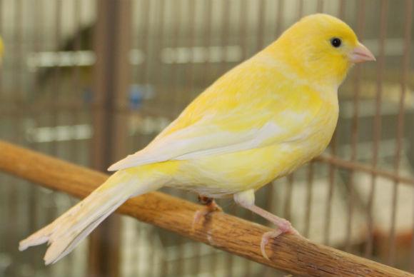 بالصور اجمل كناري في العالم , اروع طيور الكناري و ابهاها 3027 3