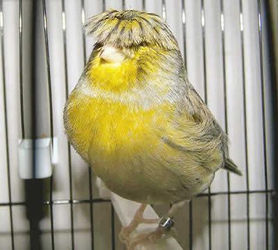 بالصور اجمل كناري في العالم , اروع طيور الكناري و ابهاها 3027 6