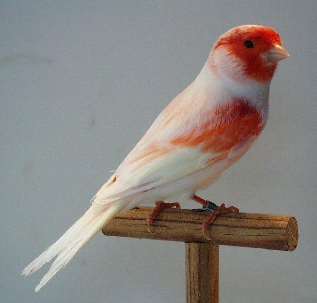 بالصور اجمل كناري في العالم , اروع طيور الكناري و ابهاها 3027 8
