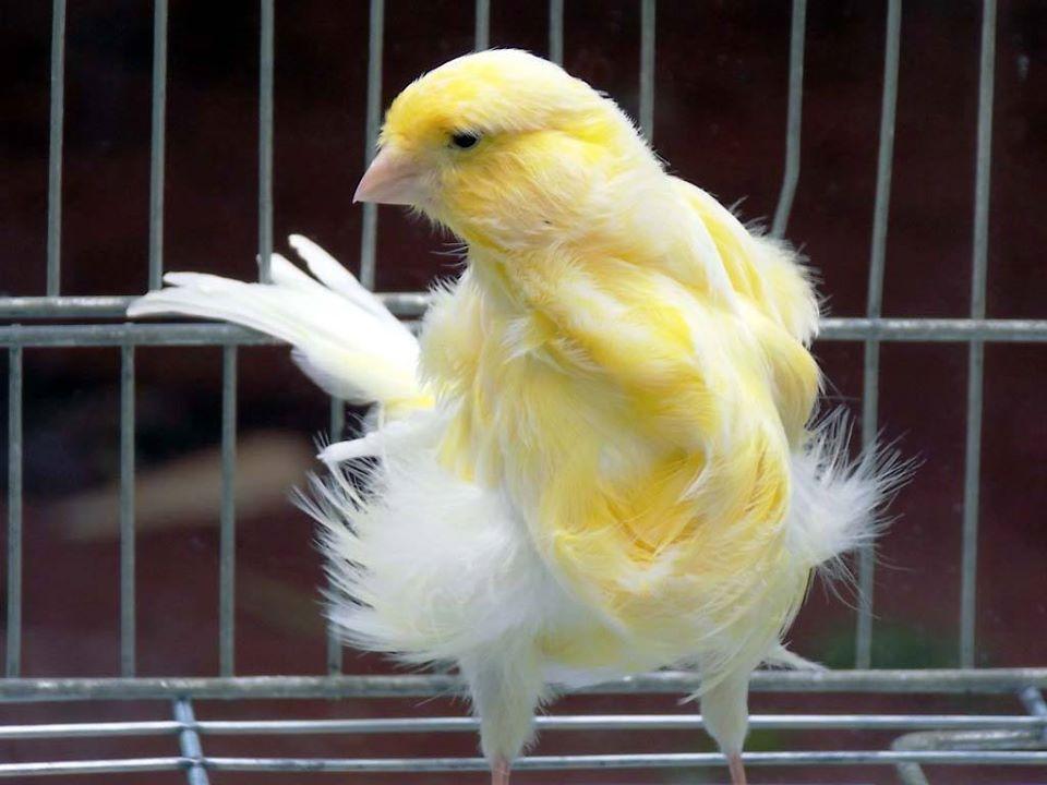 صورة اجمل كناري في العالم , اروع طيور الكناري و ابهاها