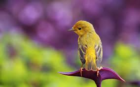بالصور صور عصافير , عصافير ملونة نادرة 1575 2
