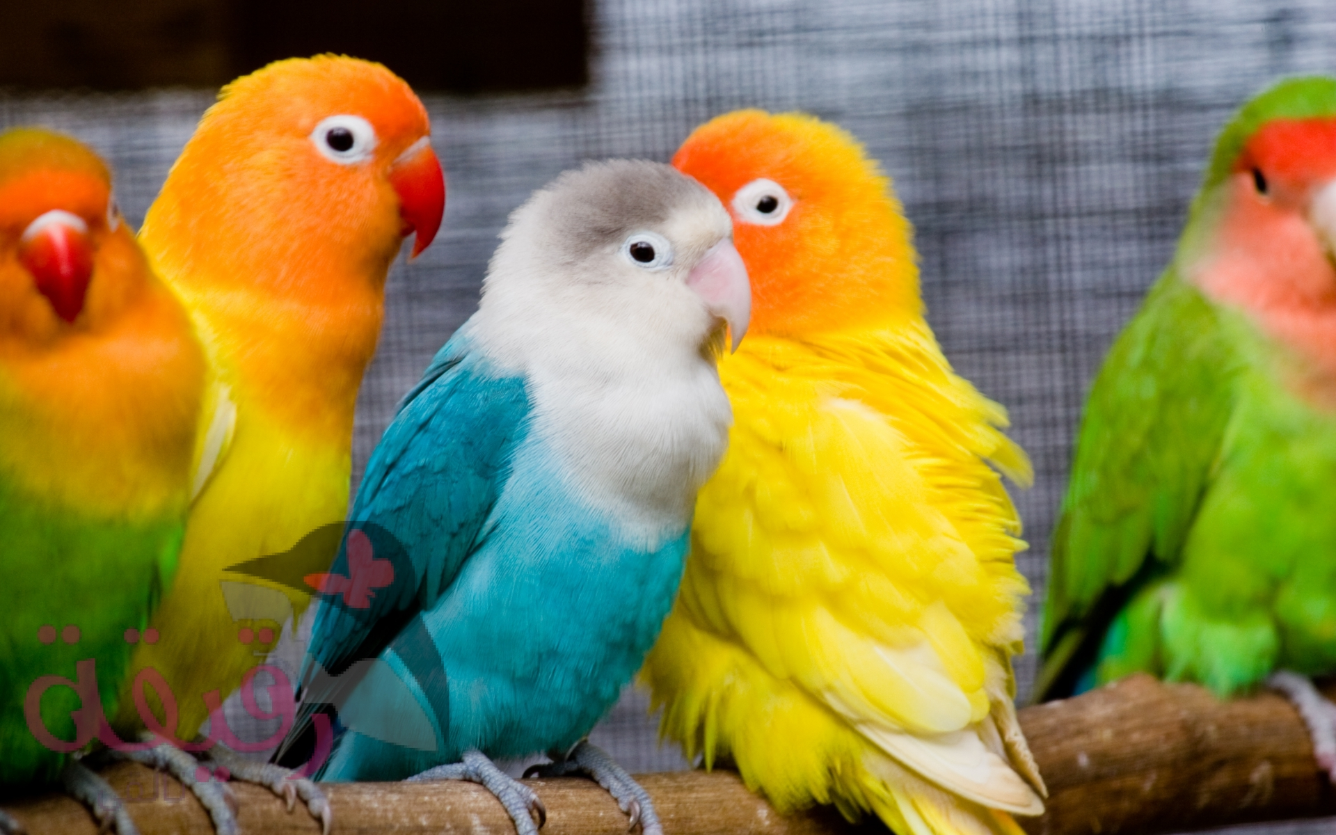 بالصور صور عصافير , عصافير ملونة نادرة 1575 9