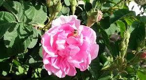 صوره حكم عن الورد , اجمل كلام عن الورد