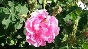 صورة حكم عن الورد , اجمل كلام عن الورد