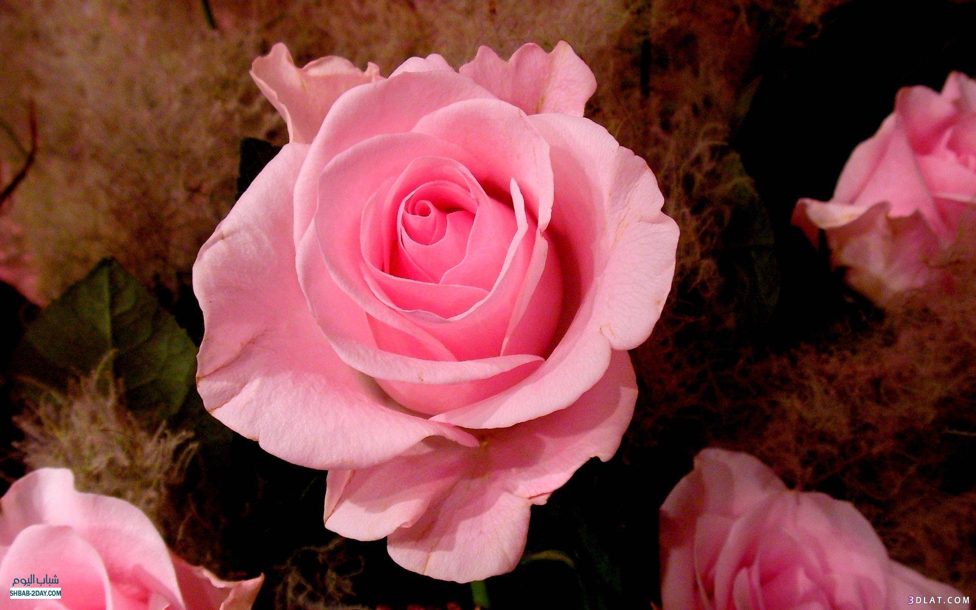 بالصور حكم عن الورد , اجمل كلام عن الورد 1866 5