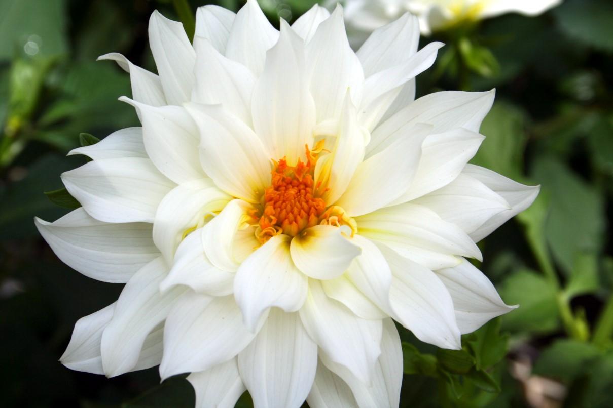 بالصور بوكيه ورد ابيض , الورد الابيض هو النقاء 1917 5