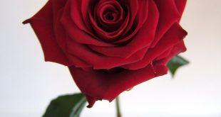 صوره خلفيات ورد , اكثر صور الورد جاذبية
