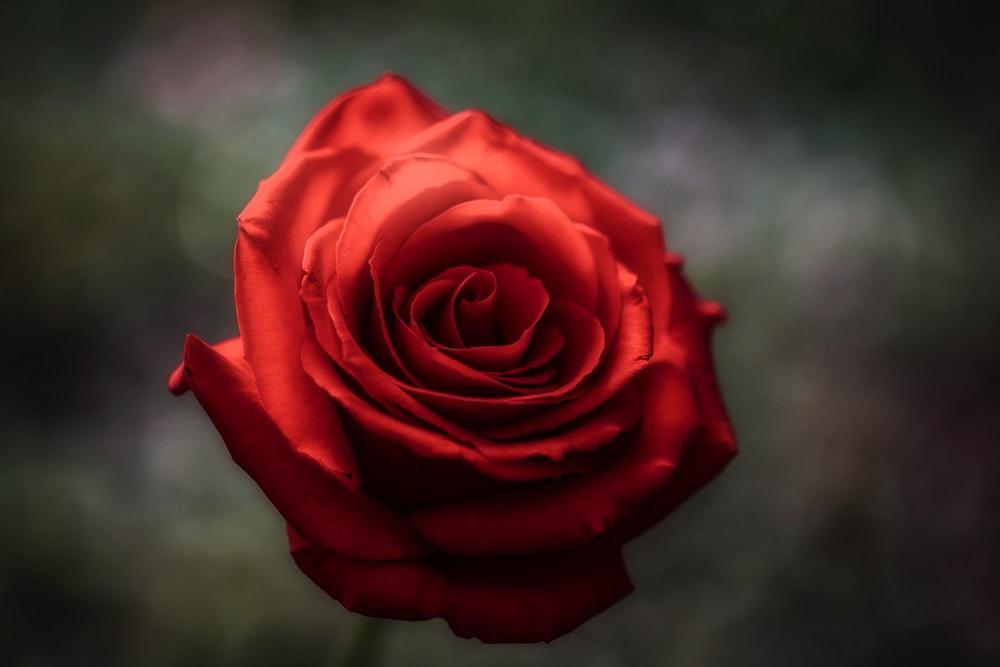بالصور خلفيات ورد , اكثر صور الورد جاذبية 3014 2