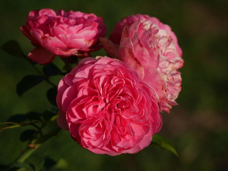 بالصور خلفيات ورد , اكثر صور الورد جاذبية 3014 4