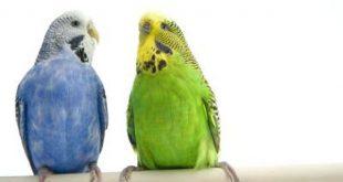 صورة عصافير الزينة , صور ارق عصافير منزلية