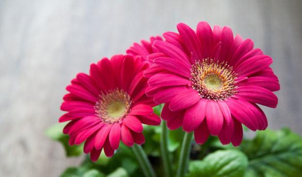 بالصور خلفيات ورود , اجمل صور الازهار الرائعه 989 3