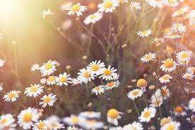 بالصور خلفيات ورود , اجمل صور الازهار الرائعه unnamed file 119