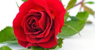 صورة زهور الحب , صور تشكيلة ورد للحبايب