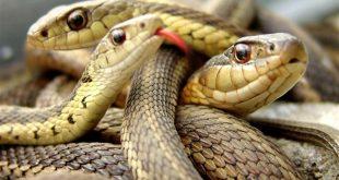 رؤية ثعبان في المنام , تفسير حلم الثعابين اثناء النوم