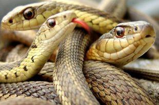 """بالصور رؤية ثعبان في المنام , تفسير حلم الثعابين اثناء النوم صUˆØ±Ø© ذات صU""""Ø© 30 310x205"""