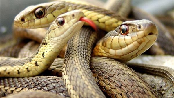 صورة رؤية ثعبان في المنام , تفسير حلم الثعابين اثناء النوم