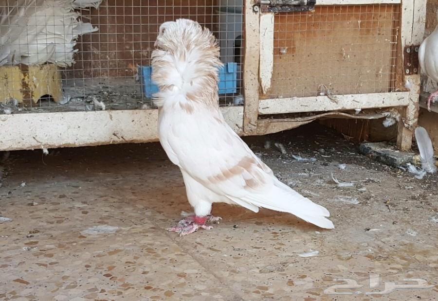 بالصور حمام زينه , اشكال الحمام نادرة 3540 9