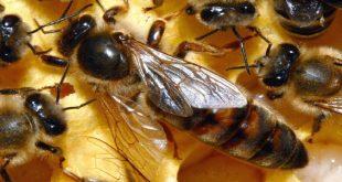 صور اسم ملكة النحل , ما هو اسم ملكة النحل