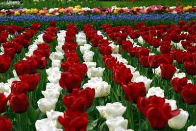 صورة صور ورد طبيعي , معلومات عامة عن الورد الطبيعى