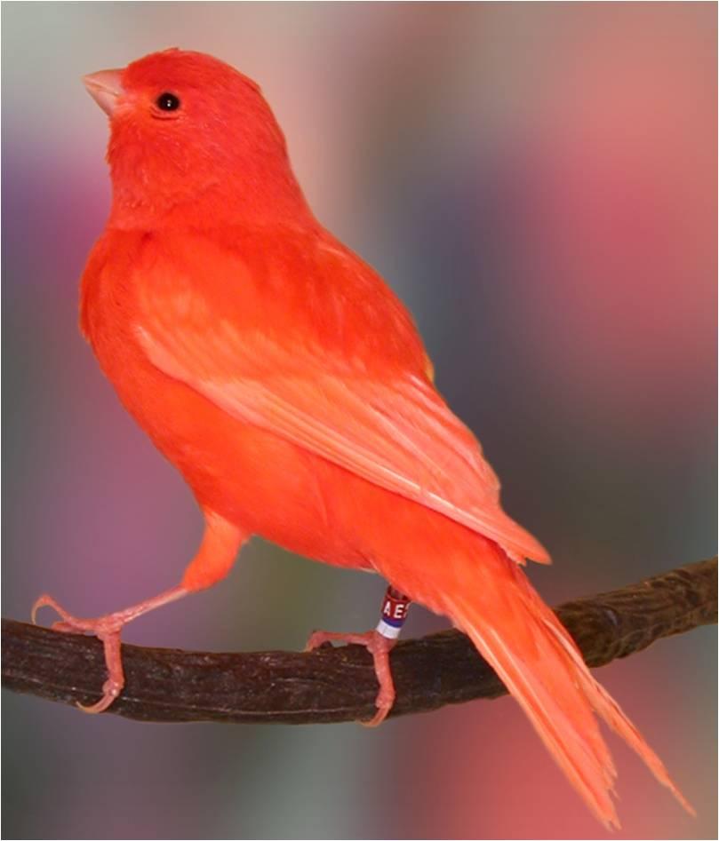 صورة صور كناري , احلى الوانات العصافير