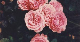 صور اجمل صور الورد , صور لاجمل ورد