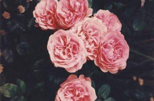 صورة اجمل صور الورد , صور لاجمل ورد