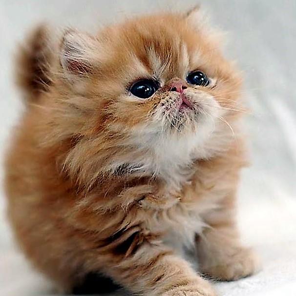 صورة صور قطط شيرازي , معلومات عن القطط الشيرازى