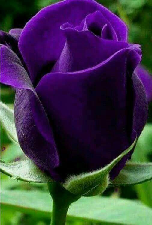 صورة صور ازهار , ارق صور للازهار