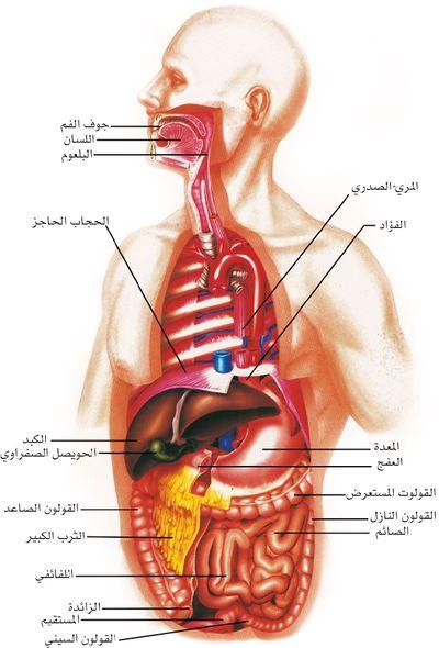 صورة صور الجهاز الهضمي , صور عن اهم اجهزه الانسان