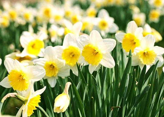 صور زهرة النرجس بالصور , زهرة النرجس من اجمل الزهور