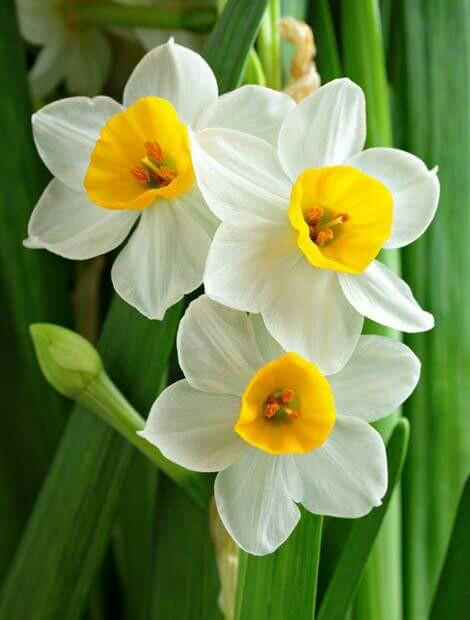 صورة زهرة النرجس بالصور , زهرة النرجس من اجمل الزهور