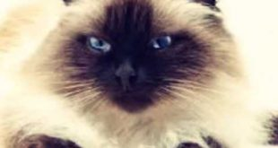 صورة قطط سيامو , اجمل قطط سيامو