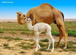 صورة جمل في الصحراء , ما دلالة وتفسير رؤية الجمل في المنام
