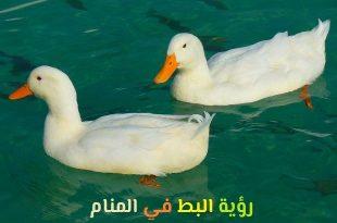 صورة رؤية البط في المنام , ما هو تفسير رؤية البط في المنام