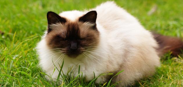 صورة اروع خلفيات جميله لقطط ,قطط هملايا