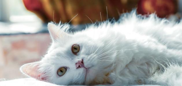 صورة ما اجمل خلفيات هذا القطط الملونه ,قطط شيرازى